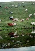 cattle_reflection.jpg