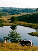 cow_in_front_of_pond.jpg